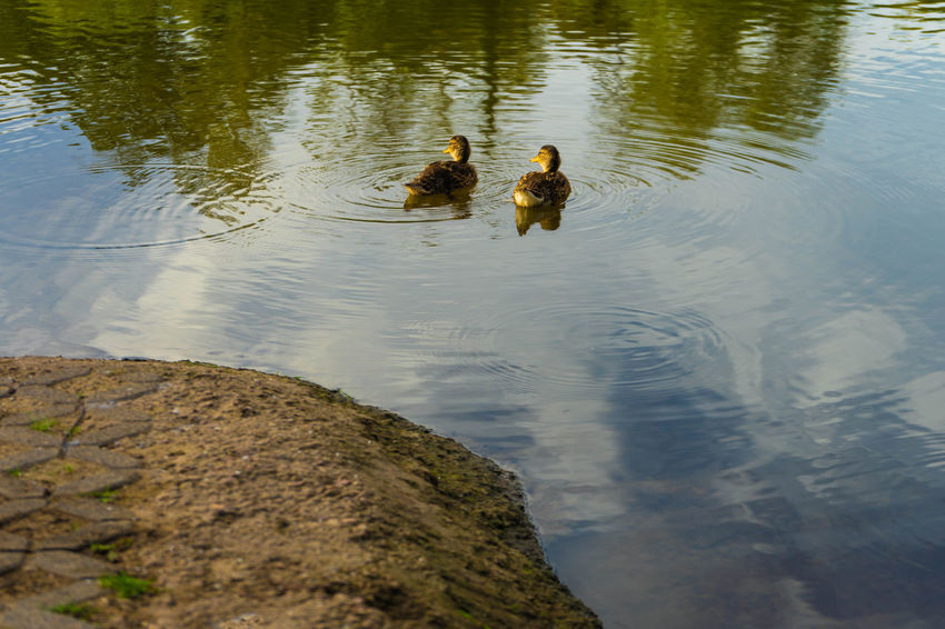 baby ducks swims in the water Baby Ducks On The Lake Animal Animal Family Animal Themes Animal Wildlife Animals In The Wild Bird Day Duck Group Of Animals High Angle View Lake Nature No People Outdoors Swimming Two Animals Vertebrate Water Young Animal Young Bird
