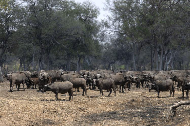 Buffalos walking in a field