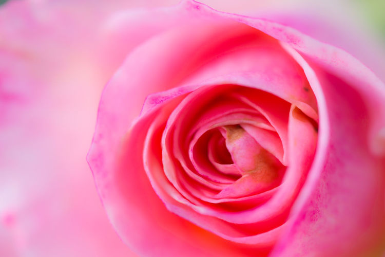 Close up beautiful pink rose flower background,wedding background. Soft blur focus Beautiful Love Pink Postcard Wedding Aroma Art Backgrounds Blooming Blossom Flora Flower Flowers Love Macro Nature Pastel Petal Pink Color Rose - Flower Rosé Smell Soft Focus Vintage Wallpaper