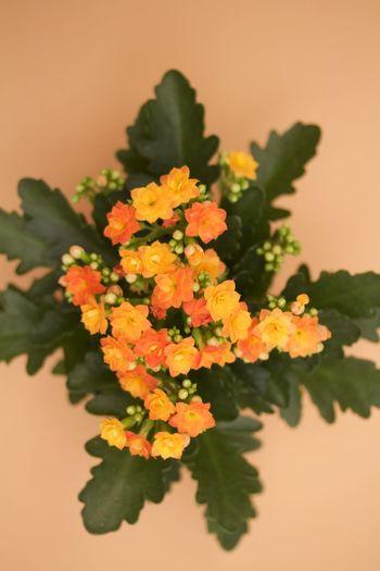 orange kalanchoe on orange background Beauty In Nature Close-up Flower Fragility Freshness Growth Kalanchoe Nature No People Orange Color Plant Studio Shot