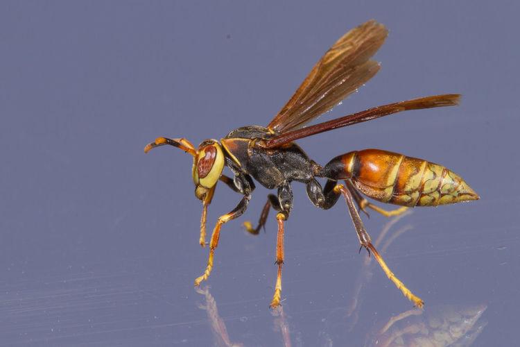 Close-up of a wasp