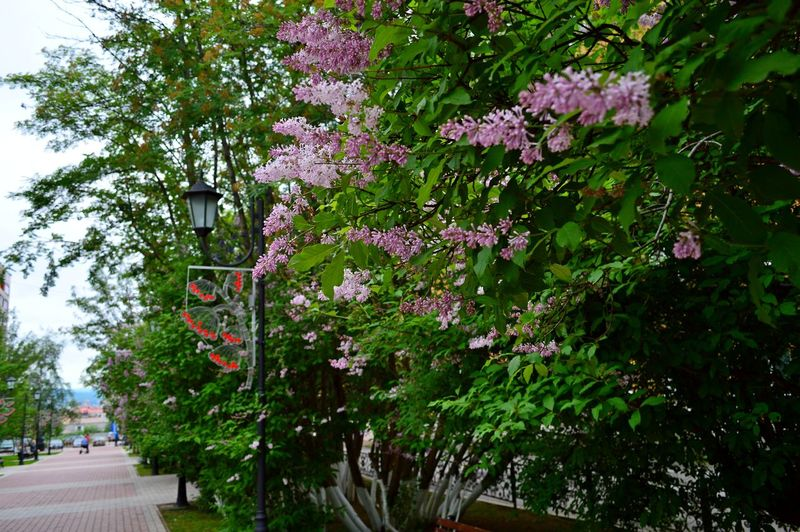 Rowan Avenue Lilac Flower Branch Day Flower Growth Nature No People Outdoors Tree
