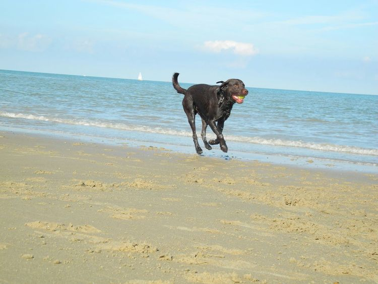 Pets Corner Enjoying Life Playing With My Dog Labrador Holidays Holland Beach My Dog Is Cooler Than Your Kids Cute Pets EyeEm Animal Lover The KIOMI Collection