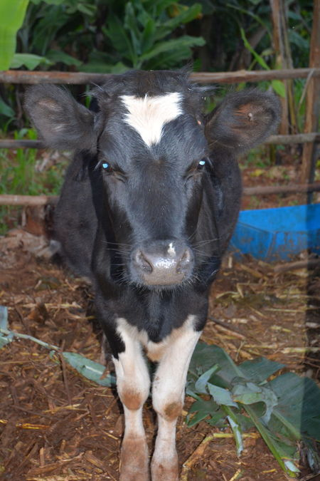 Animal Themes Close-up Cow Day Domestic Animals Domesticated Animal Tag Field Livestock Looking At Camera Mammal Nature No People Outdoors Portrait Standing