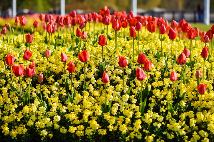 Red tulips near Buckingham Palace in London. Spring flowers. Flower Flowering Plant Plant Growth Abundance Beauty In Nature Freshness Vulnerability  Fragility Red Nature Tulip Flowerbed No People Agriculture Flower Head Outdoors Inflorescence Large Group Of Objects Day