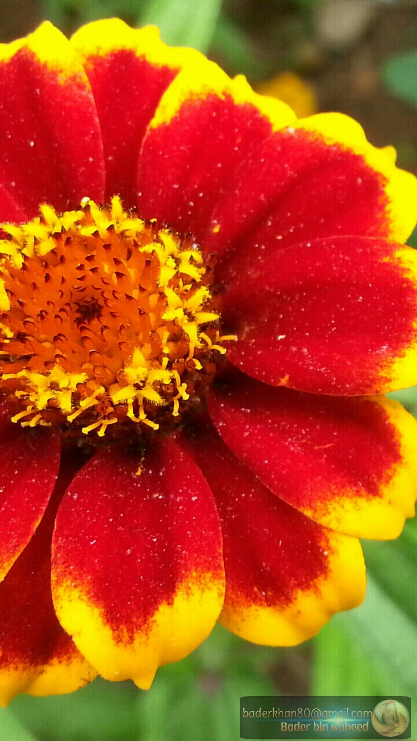 freshness, flower, flower head, yellow, petal, close-up, fragility, drop, red, beauty in nature, stamen, wet, growth, vibrant color, single flower, pollen, orange color, water, nature, selective focus