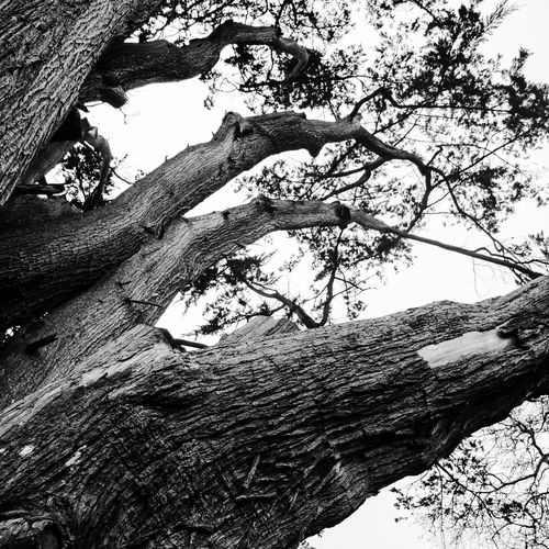 Bark Beauty In Nature Black & White Black And White Branch Curraghchase Day Growth Ireland Low Angle View Nature No People Outdoors Sky Tree Tree Trunk