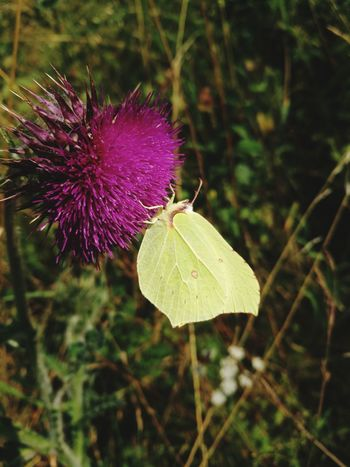 Flower Flower Head Thistle Insect Purple Butterfly - Insect Close-up Animal Themes Plant