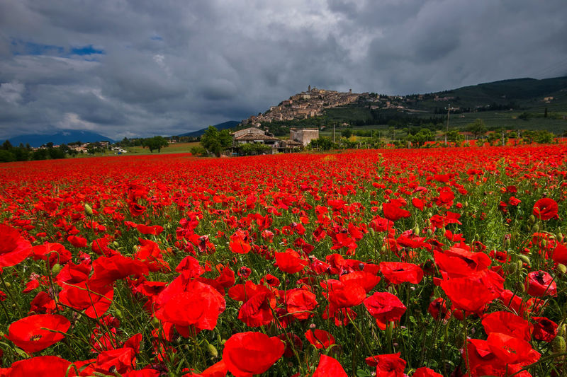 Amazing view of medieval Trevi village with a field of red poppies in Umbria, Italy Poppies  Poppy Trevi Umbria Village Borghi D'Italia Medieval Architecture Architecture Red Poppy Poppy Flowers Flower Flowers, Nature And Beauty Nature Landscape Landscape_Collection Travel Destinations Travel Vacations Destination Cloud Cloudscape Rainy Day Spring Paradise Idyllic Rural Scene Rural Countryside Country Amazing Romantic Love Panorama Flowering Plant Beauty In Nature Plant Cloud - Sky Red Sky Growth Vulnerability  Freshness Fragility Land Tranquility Field Tranquil Scene Scenics - Nature No People Petal Flower Head Outdoors Flowerbed