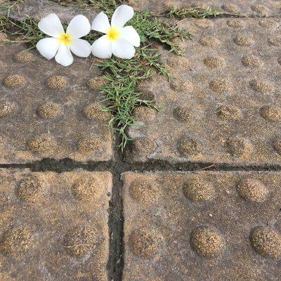 Walkway Concrete Flowering Plant Flower Plant Freshness Nature Growth Beauty In Nature Footpath Close-up Outdoors White Color Flower Head No People Petal