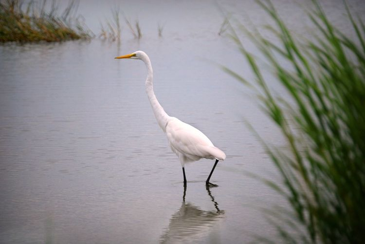 Great Egret on East Beach American Egret Birds Of Coastal Georgia Birds Of EyeEm  Grass Animals In The Wild Bird Common Egret Egret Great Egret No People One Animal Outdoors Reflection Water White Color