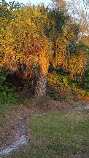 Sabal palm Sabal Palm Orange Glow Florida State Tree Beach Life Florida Life Outdoor Photography