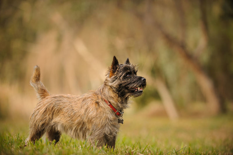 Cairn Terrier dog Standing Animal Themes Cairn Cairn Terrier Day Dog Domestic Animals Full Length Mammal No People One Animal Outdoors Pets Photography Portrait Purebred Terrier