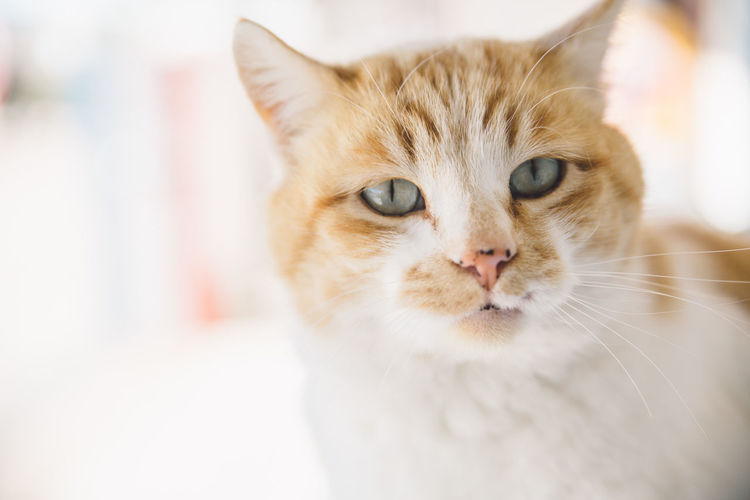 Animal Themes Arizona Close-up Day Domestic Animals Domestic Cat Feline Focus On Foreground Indoors  Looking At Camera Mammal No People One Animal Persian Cat  Pets Portrait Whisker Pet Portraits