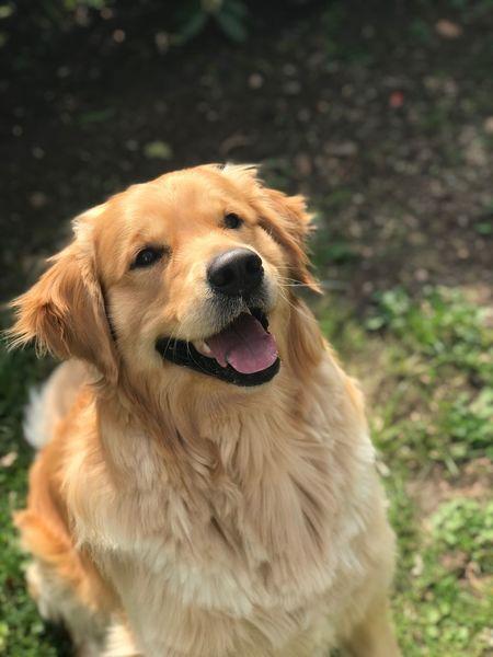 Golden Retriever ❤️ Goldenretriever Goldenretrieversofinstagram Golden Retriever One Animal Canine Pets Dog Domestic Animal Themes Animal