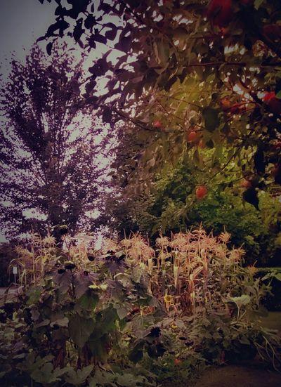 Grandpasgarden Sunflowers🌻 Apple Endofsummer