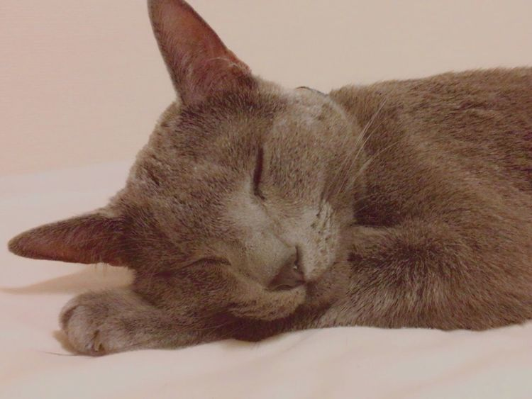 Domestic Cat One Animal Animal Themes Pets Relaxation Feline Eyes Closed  Domestic Animals Mammal Sleeping No People Indoors  Close-up Day RussianBlue