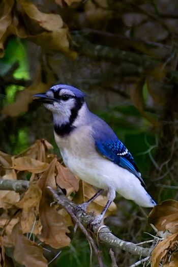 Blue Jay alabama Animals In The Wild Bird Photography Blue Color Blue Jay Animal Animal Themes Animal Wildlife Animals In The Wild Bird Birds Branch Close-up Day Focus On Foreground Land Leaf Nature No People One Animal Outdoors Perching Plant Plant Part Tree Vertebrate