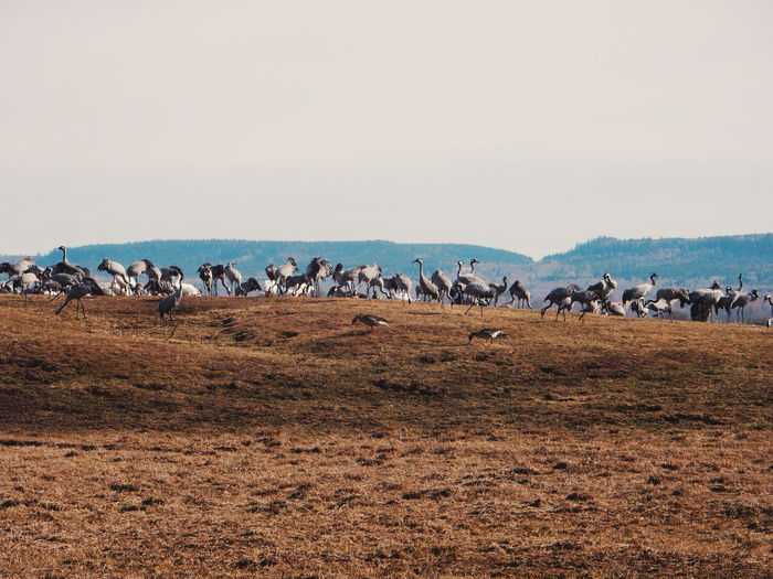 Flock of cranes on field against clear sky