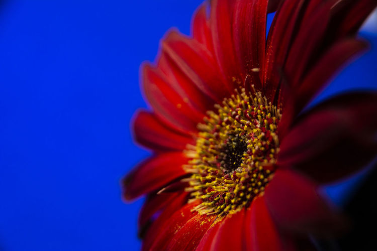 Close-up of red flower against blue sky