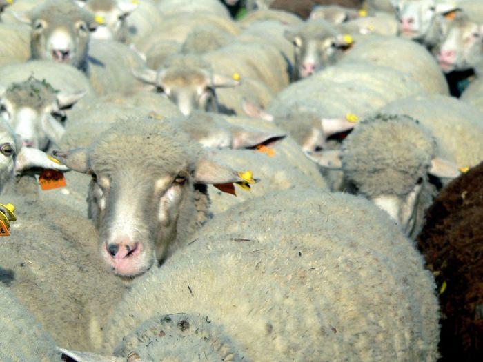 Sheeps Animal