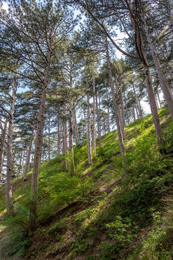 Beauty In Nature Coniferous Tree Day Environment Forest Green Color Growth Land Nature No People Non-urban Scene Outdoors Pine Tree Pine Woodland Plant Scenics - Nature Tall - High Tranquil Scene Tranquility Tree Tree Trunk Trunk WoodLand