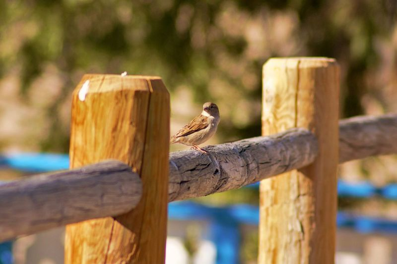 small bird sitting on railing with bright blue waterslide fuzzed out in background Lodge Pole Fence Water Slides Lake Gregory Goodwins Market Lark Finch Fence Railing Split Rail Fence EyeEm Selects Perching Tree Reptile Wood - Material Wooden Post Animal Themes Close-up