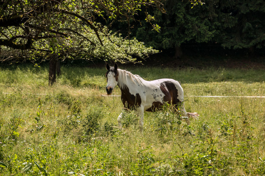 Horses on the green meadow Animal Animal Themes Animal Wildlife Day Domestic Domestic Animals Field Grass Growth Herbivorous Horse Land Livestock Mammal Nature No People One Animal Outdoors Pets Plant Tree Vertebrate