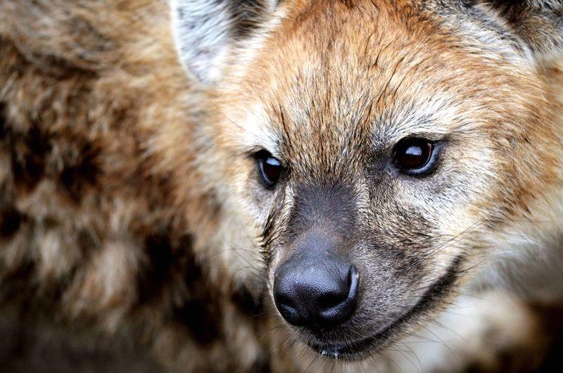 Close-up of hyena looking away