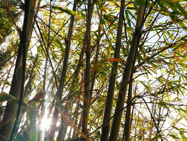 The Essence Of Summer Bamboo Summer Sun Sunny Day Sun_collection Garden Garden Photography Tranquility The Moment Nature Nature On Your Doorstep Nature_collection EyeEm Nature Lover Nature Details Leaves Beatiful Nature Glitch Showcase June The Secret Spaces Sommergefühle Colour Your Horizn