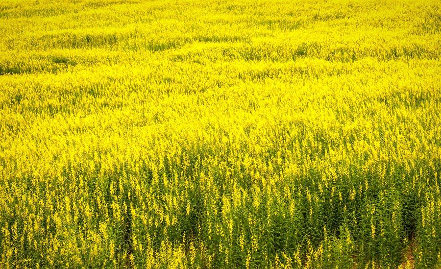 Crotalaria Juncea or Sunn Hemp yellow flowers field in Thailand. Crotalaria Juncea Sunn Hemp Field Tourism Thailand Yellow Flower Blooming Farmland Growing Agricultural Field Sunshine Scene