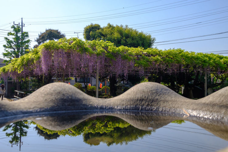 FUJIFILM X-T2 Japan Japan Photography Wisteria Wisteria Flower Beauty In Nature Built Structure Cable Clear Sky Day Flower Flower Collection Fujifilm Fujifilm_xseries Growth Nature Outdoors Plant Reflection Sky Temple Tree Water X-t2 高圓寺