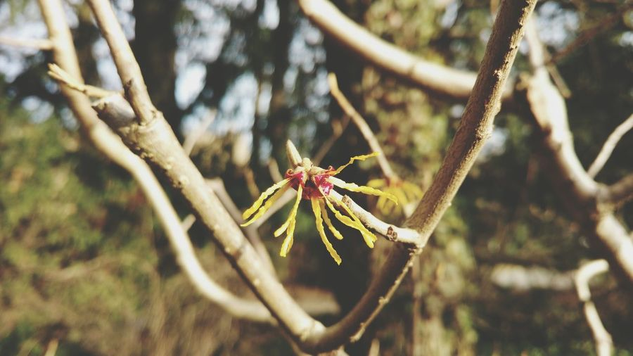Nature Close-up Tree Outdoors No People Day Beauty In Nature Bud Bloom Yellow Blooming Blossom Spring Shrubs Shrub Bushes Bush Winterzaubernuss Witch Hazel Witch Hazel Plant Hamamelis Tree Growth Nature