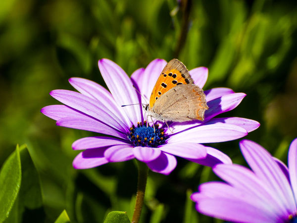 Daisies Daisy Daisy Flower Flowers,Plants & Garden Nature Pink Beauty In Nature Blooming Blooming Flower Blossom Butterflies Butterfly Butterfly - Insect Environment Flower Flower Head Flowers Fragility Freshness Nature Pink Daisy Pink Flower Spring Flowers Springtime Wildlife