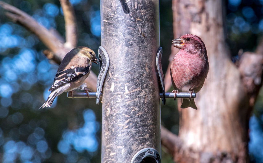 Pair of north america goldfinch at a back yard feeder
