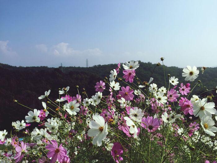 Mountain Flowers Cosmos