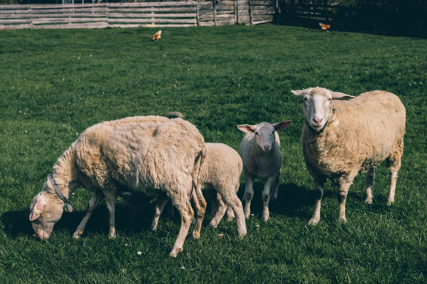 sheeps EyeEm Best Shots EyeEmNewHere Green Lamb Sheeps. Animal Themes Cow Day Domestic Animals Domestic Cattle Domesticated Animal Tag Field Grass Grassing Grazing Green Color Highland Cattle Livestock Mammal Nature No People Outdoors Sheep Sheeps Young Animal