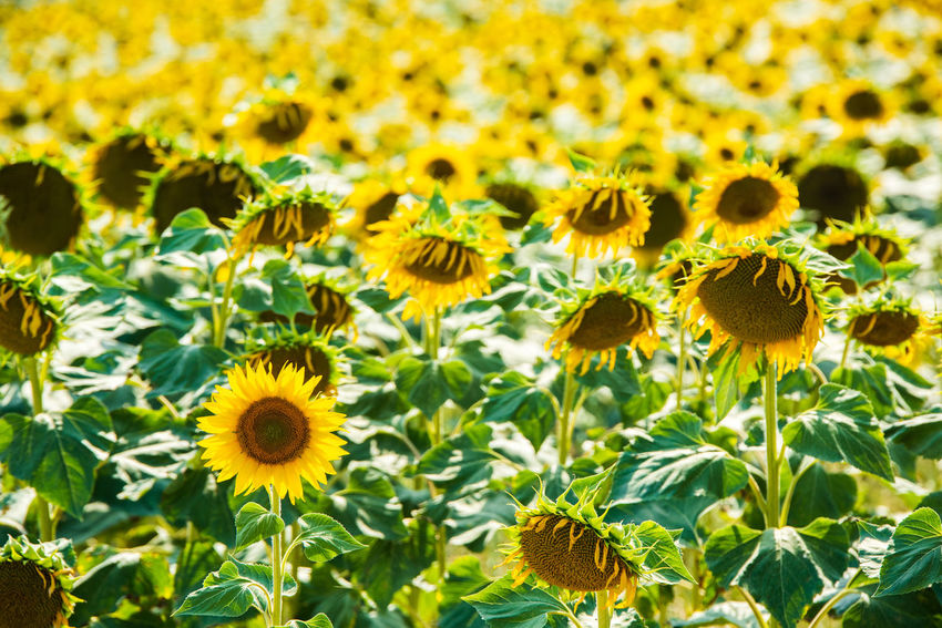 A perky sunflower sits proud and upright, surrounded by hundreds of bowing, reverential sunflowers in a summer scene, Italy. Bright Field Green Masseria Nature Reverent Rural Sunflower Sunny Yellow Flower Bowing Countryside Flower Flower Head Growth Italy Molise Optimism Optimistic Perky Reverence Reverential Summer Sunshine Yellow Summer Road Tripping