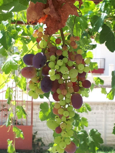 Tree Vine - Plant Fruit Leaf Branch Hanging Grape Agriculture Close-up Plant