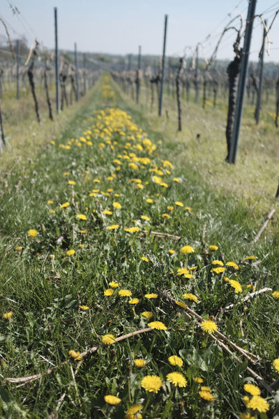 Green vineyard in Deidesheim, Germany Beauty In Nature Biological Close-up Day Deidesheim Field Flower Forst Fragility Freshness Green Agri Green Color Growth Nature No People Outdoors Palatinate Pfalz Riesling Scenics Tranquil Scene Tranquility Tree Wine Yellow