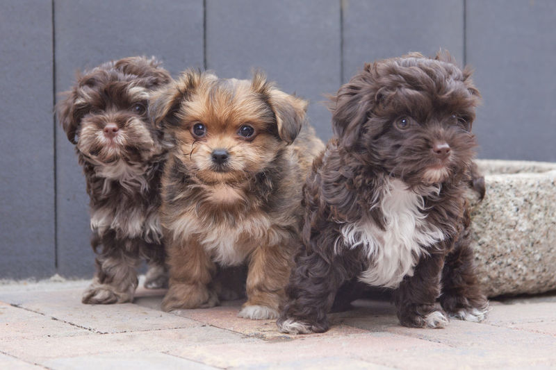 3 puppies frontside Animal Bolonka BolonkaZwetna Cute Dog Dogs Domestic Animals Looking At Camera Mammal Pets Puppy