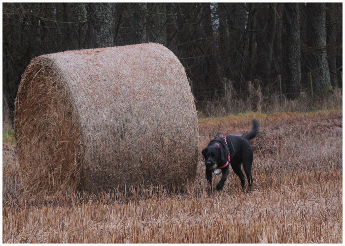 I wonder what is around here.... Black Labrador Farming Life Countryside Haly Bale One Animal Dog Pets Animal Themes Domestic Animals Mammal Grass Field Outdoors Nature