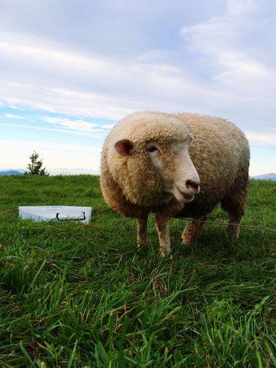 Pasture Japan Nagano Nagato-pasture Autumn Animals Sheep Nature Beautiful
