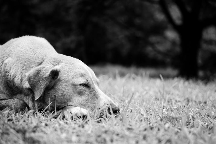 Dog Canine One Animal Mammal Domestic Animal Themes Pets Animal Domestic Animals Relaxation Selective Focus Plant No People Grass Nature Land Vertebrate Animal Body Part Field Looking Animal Head