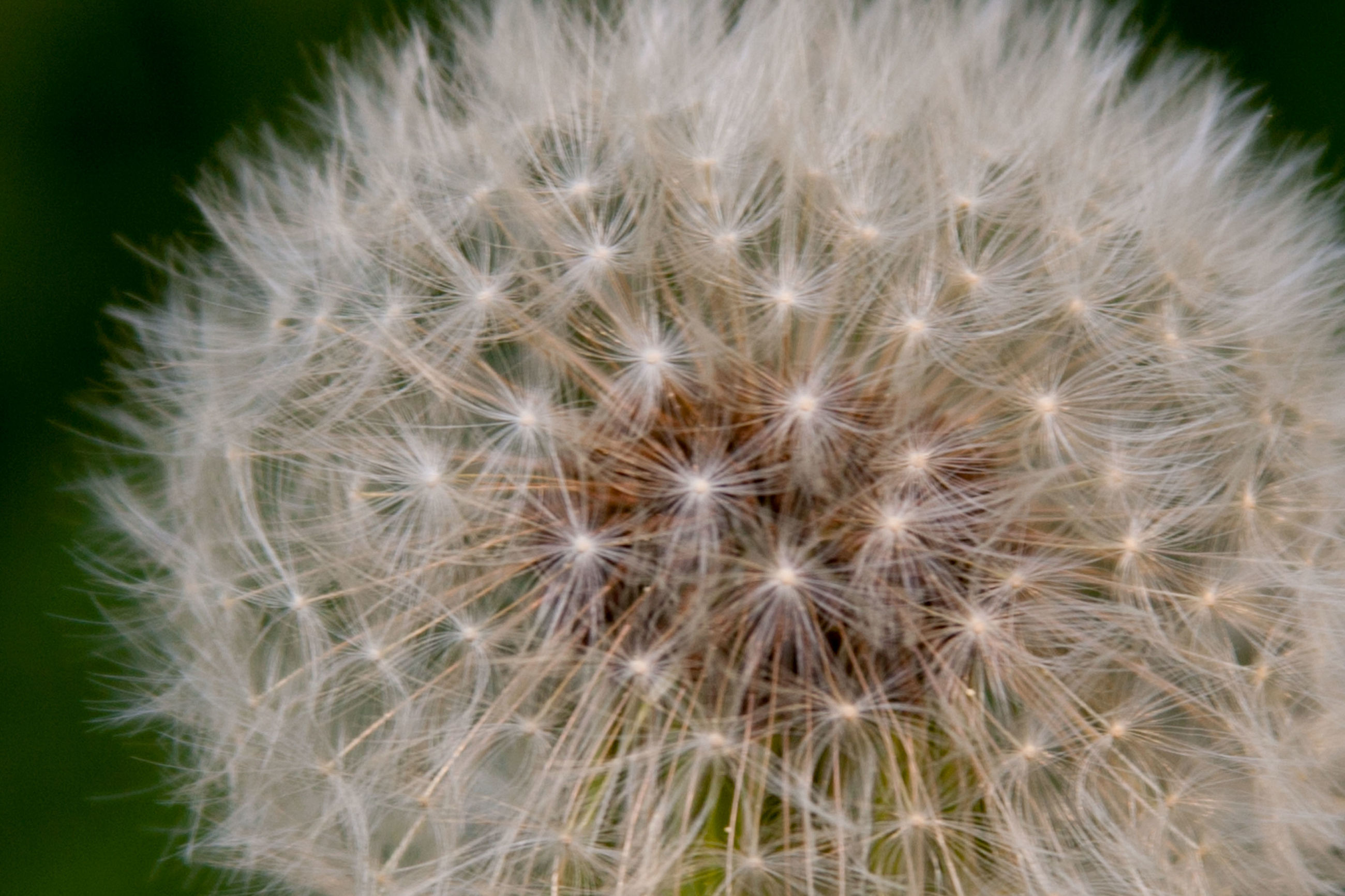 flower, vulnerability, fragility, flowering plant, dandelion, close-up, beauty in nature, plant, inflorescence, growth, no people, nature, flower head, freshness, softness, white color, dandelion seed, selective focus, focus on foreground