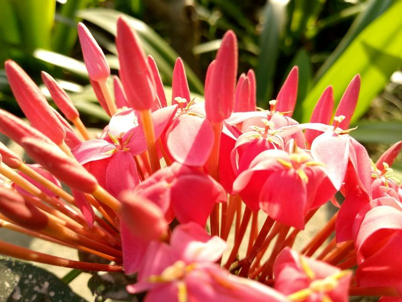 Pink Color Pink Flower Epidendrum Epidendroideae EyeEmNewHere Blossom Plant Life Blooming Bud Sepal In Bloom Botany