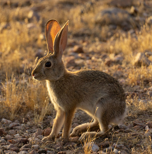 Side view of rabbit on field