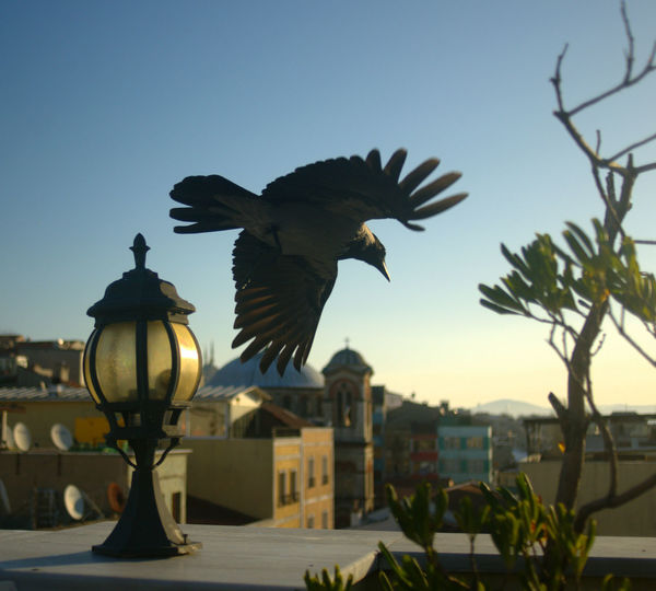 Istanbul Morning Architecture Bird Clear Sky Crow Flying Outdoors Sky Spread Wings