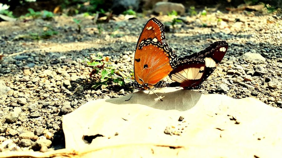 Beautiful butterfly Butterflies Butterfly ❤ MyLove❤ Leaves EyeEm Nature Lover Popular Photos Beautifullview Butterfly Effect Rajkotian Rajkot Gujarat Perspectives On Nature Be. Ready. Shades Of Winter An Eye For Travel