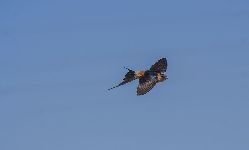 Low angle view of swallow flying in clear sky